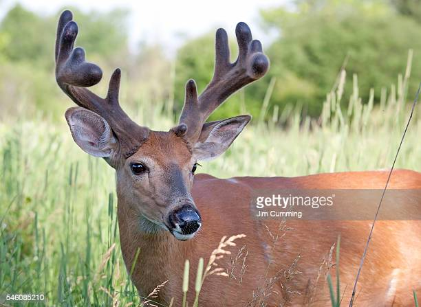 white-tailed buck in spring - white tail deer stock photos and pictures