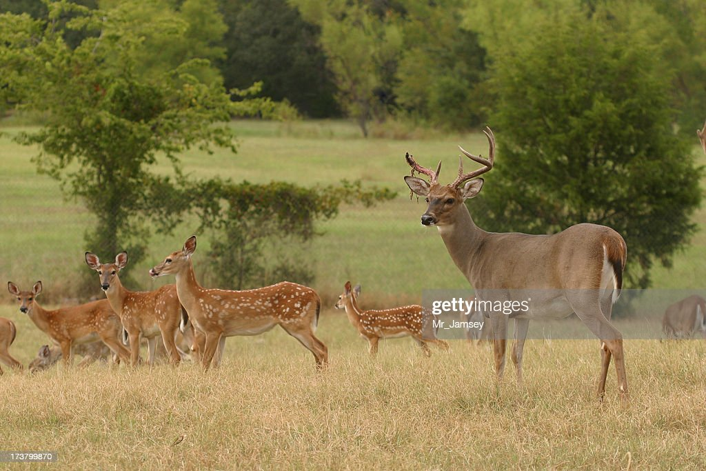 White-tailed buck with doe : Stock Photo