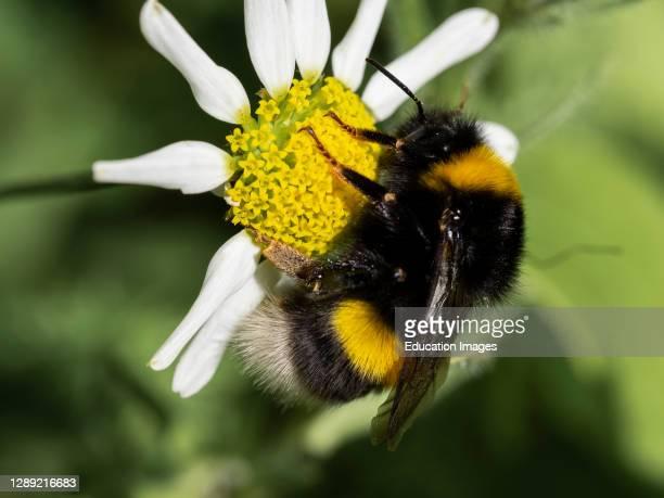 White-tailed bumblebee, Bombus lucorum Cornwall, UK.