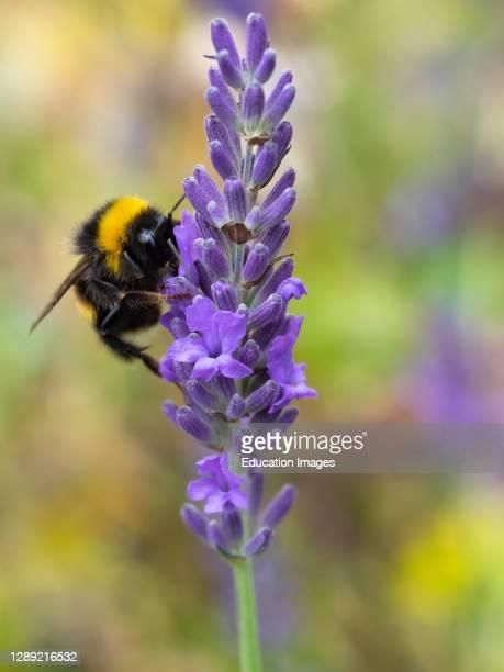 White-tailed bumblebee, Bombus lucorum on Lavender, Lavandula, Devon, UK.