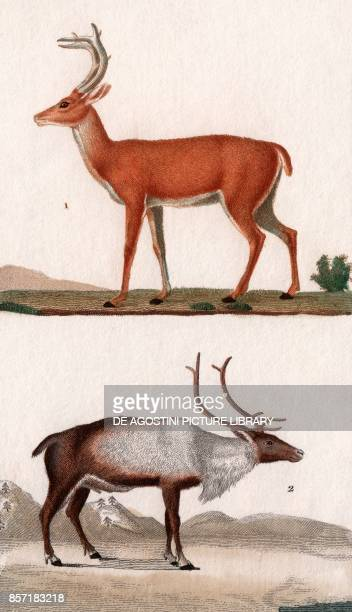 1 Whitetailed deer 2 Reindeer colour copper engraving retouched in watercolour 9x15 cm from Dizionario delle scienze naturali compilato da vari...