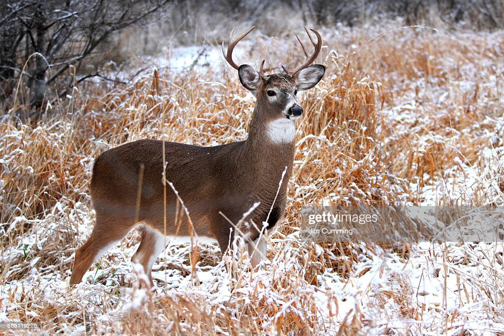 White-tailed deer - A regal stance : Stock Photo