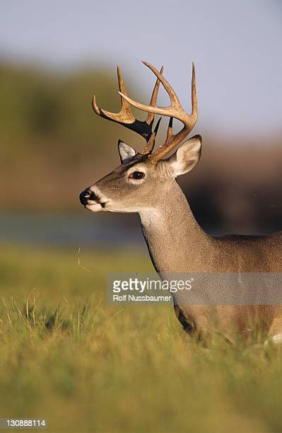 white-tailed deer (odocoileus virginianus), buck, choke canyon state park, texas, usa - white tail deer stock photos and pictures