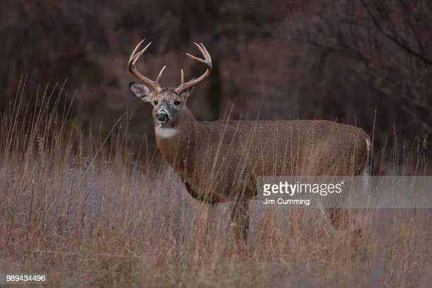 white-tailed deer buck during the rut in a autumn meadow in canada - white tail buck stock photos and pictures
