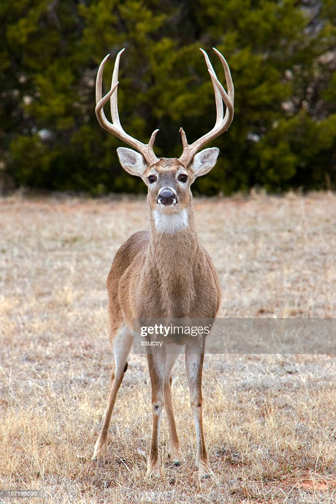 White-tailed deer buck : Stock Photo