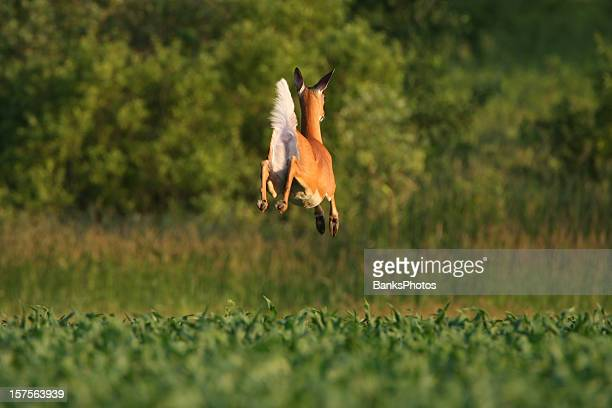 white-tailed deer doe leaps through a corn field - white tail deer stock photos and pictures