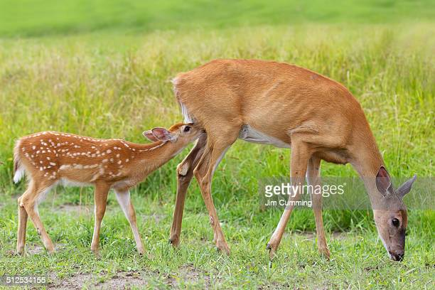 white-tailed deer family - biche photos et images de collection