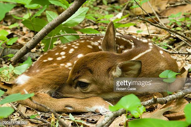 white-tailed deer fawn(odocoileus virginianus) lying on forest floor - fawn stock photos and pictures