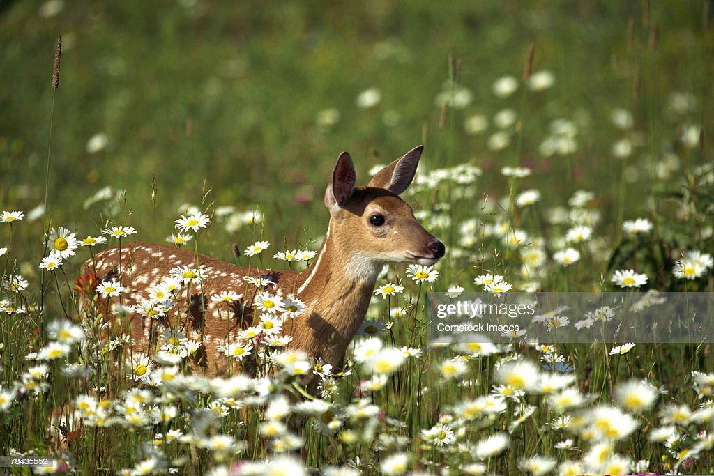 White-tailed deer in field of flowers , Minnesota : Stockfoto