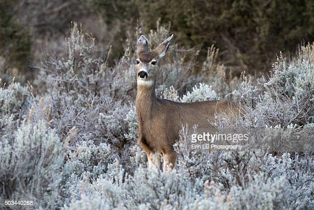 white-tailed deer in frosty bushes - mule deer stock photos and pictures