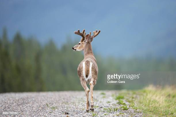 white-tailed deer, odocoileus virginianus, buck on road in kananaskis country, alberta, canada - white tail buck stock photos and pictures