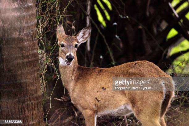 white-tailed deer odocoileus virginianus in the wetland and marsh at the myakka river state park - florida us state stock pictures, royalty-free photos & images