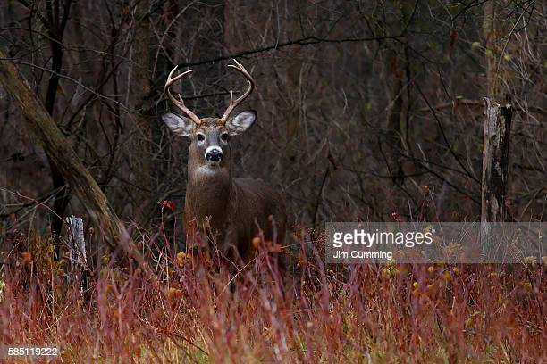 white-tailed deer - on alert - white tail deer stock photos and pictures