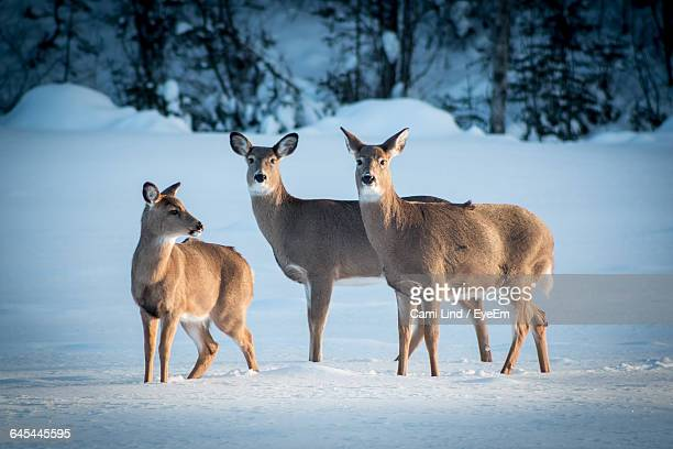 white-tailed deer standing on snow - white tail deer stock photos and pictures