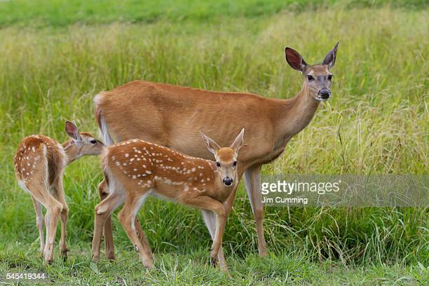 white-tailed deer with twin fawns - biche photos et images de collection