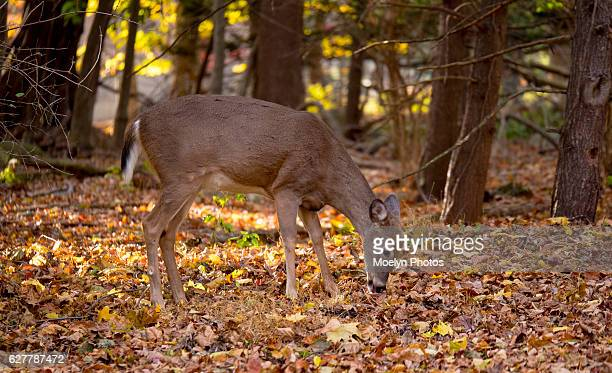white-tailed deer-wyckoff - white tail deer stock photos and pictures