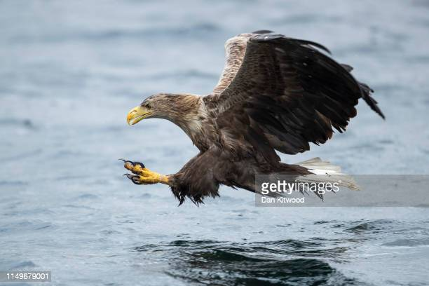 A whitetailed eagle also known as a sea eagle comes in to catch a fish thrown overboard from a wildlife viewing boat on June 9 2019 on the Isle of...