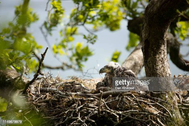 A whitetailed eagle chick also known as a sea eagle sits on its nest on June 12 2019 on the Isle of Mull Scotland The tagging effort is part of an...