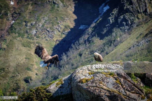 white-tailed eagle couple in lofoten islands norway - finn bjurvoll stock pictures, royalty-free photos & images