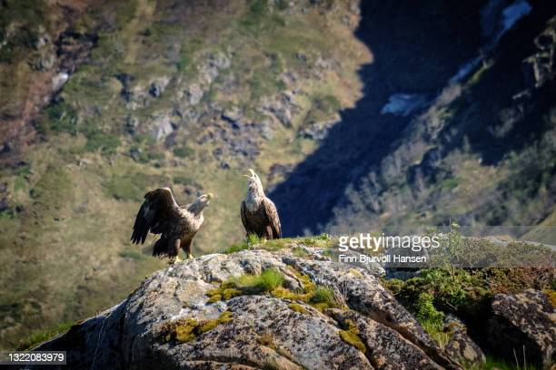 white-tailed eagle couple sitting in the mountains in lofoten islands norway - finn bjurvoll stock pictures, royalty-free photos & images