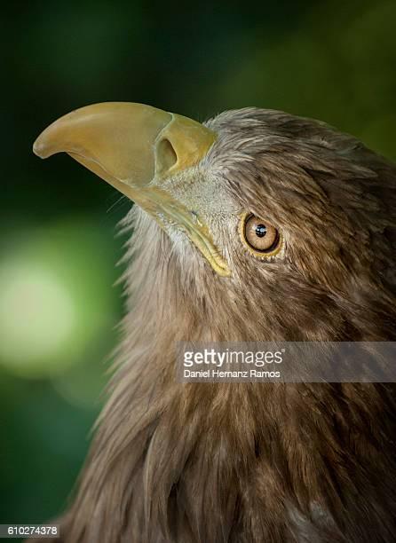 White-tailed eagle face close up detailed view. Haliaeetus albicilla
