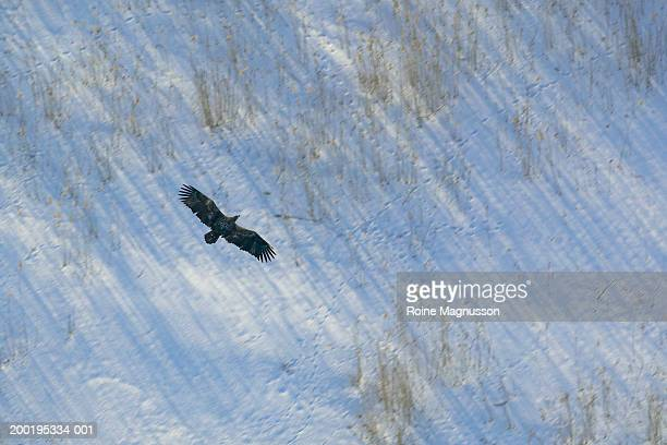 White-Tailed Eagle flying over field of snow, aerial view