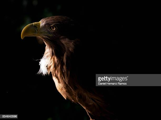 White-tailed eagle. Haliaeetus albicilla
