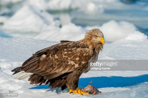 White-tailed eagle is feeding on fish on pack ice offshore the small town of Rausu, which is located on the east end of the Shiretoko Peninsula on...