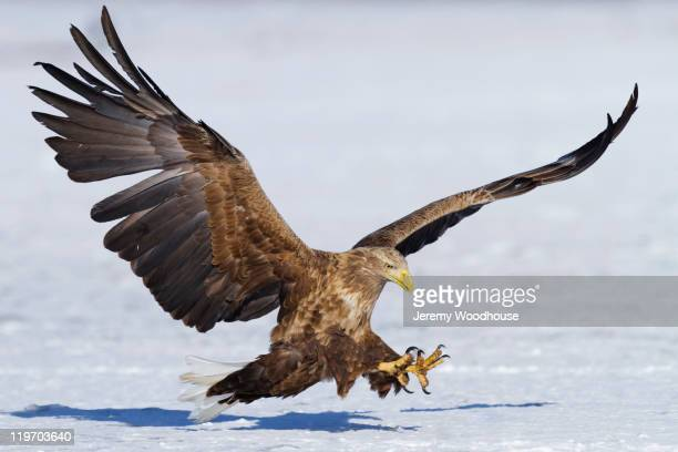 white-tailed eagle landing in snow - aquila foto e immagini stock