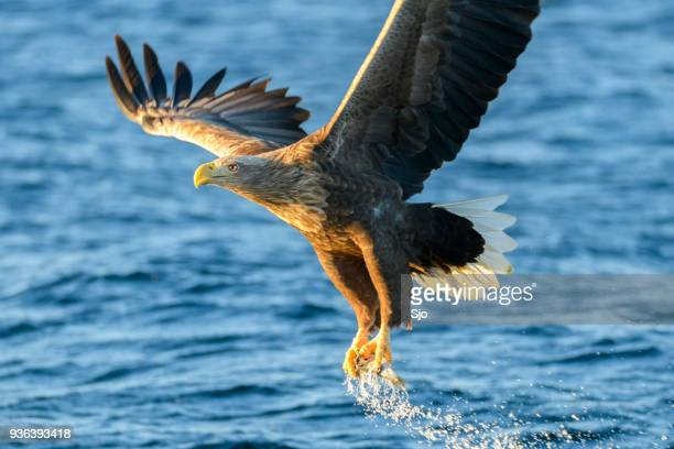 white-tailed eagle or sea eagle catching a fish in  a fjord near vesteralen island in northern norway - carnivora stock photos and pictures