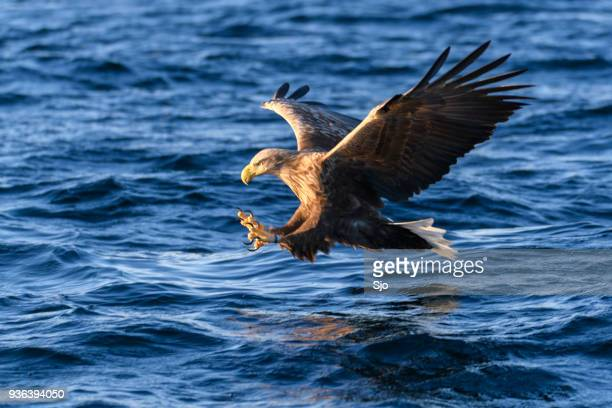 white-tailed eagle or sea eagle catching a fish in  a fjord near vesteralen island in northern norway - carnivora stock pictures, royalty-free photos & images