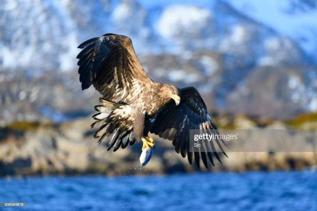 White-tailed eagle or sea eagle catching a fish in  a Fjord near Vesteralen island in Northern Norway : Stock Photo