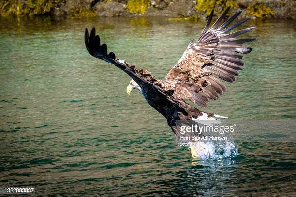 white-tailed eagle or sea eagle catching fish in a fjord in northern norway - finn bjurvoll stock pictures, royalty-free photos & images