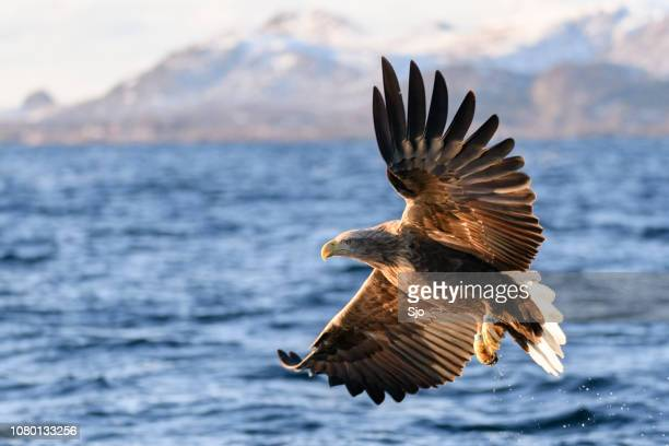 white-tailed eagle or sea eagle fisihing in a fjord in northern norway - lofoten stock pictures, royalty-free photos & images