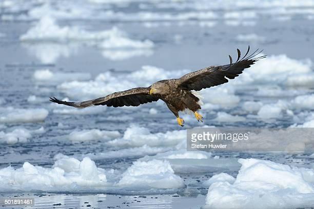 White-tailed Eagle or Sea Eagle -Haliaeetus albicilla-, in flight above drifting ice, Rausu, Menashi, Hokkaido, Japan