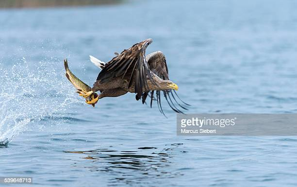 white-tailed eagle or sea eagle -haliaeetus albicilla- in flight, with a pike in its talons, mecklenburg lake district, mecklenburg-western pomerania, germany - northern pike stock photos and pictures