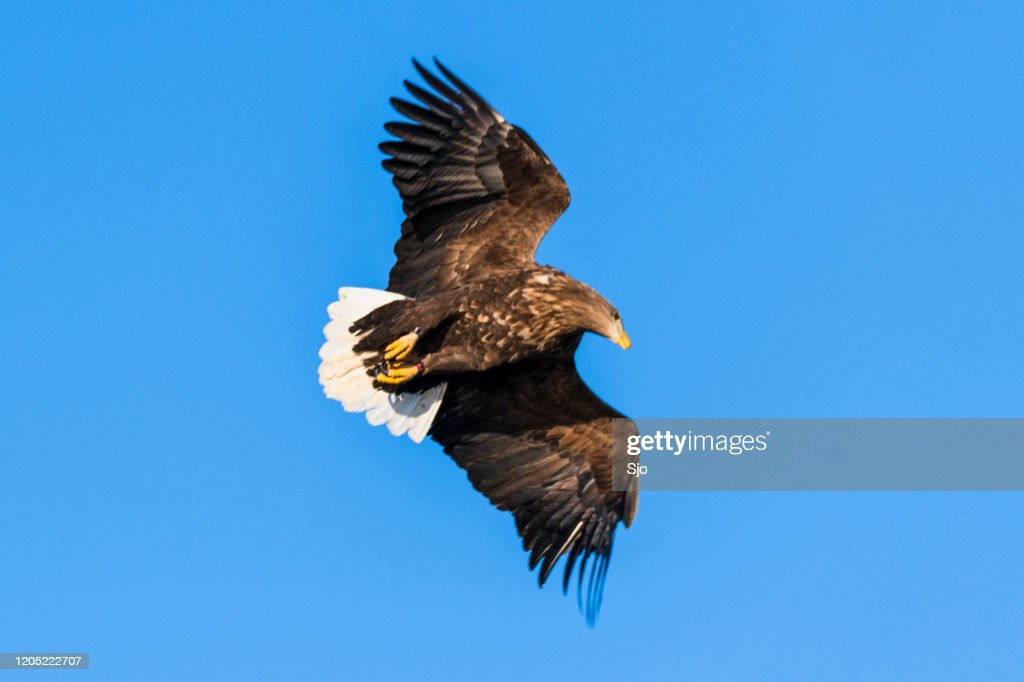 White-tailed eagle or sea eagle hunting in the sky over Northern Norway : Stock Photo