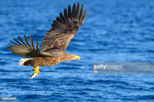 white-tailed eagle of zeearenden jacht in de hemel over noord-noorwegen - vertebrate stockfoto's en -beelden