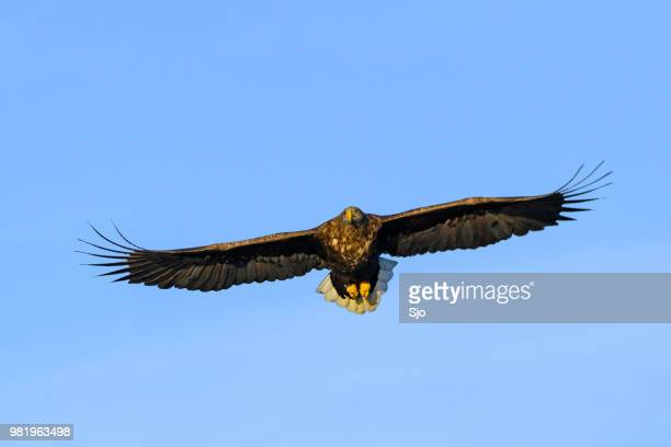 White-tailed eagle or sea eagle hunting in the sky over Northern Norway