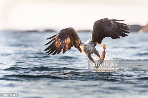 white-tailed eagle - eagle bird stock photos and pictures