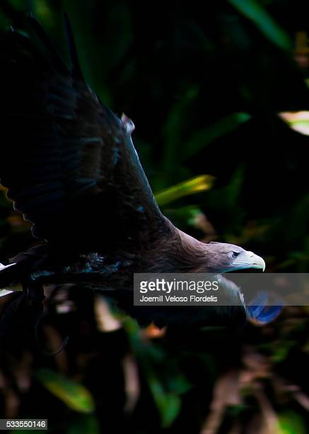 white-tailed eagle - joemill flordelis stock pictures, royalty-free photos & images