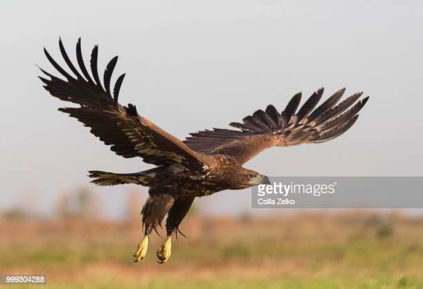 white-tailed eagle - hawk stock pictures, royalty-free photos & images