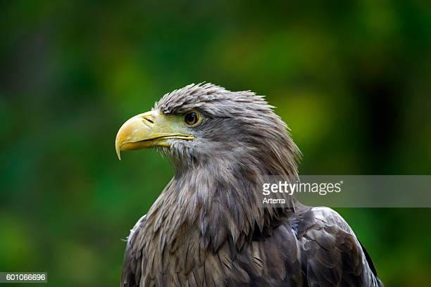 Whitetailed Eagle / Sea Eagle / Erne close up of bird