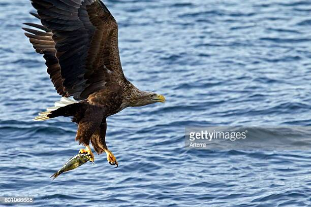 Whitetailed Eagle / Sea Eagle / Erne in flight above the sea catching fish