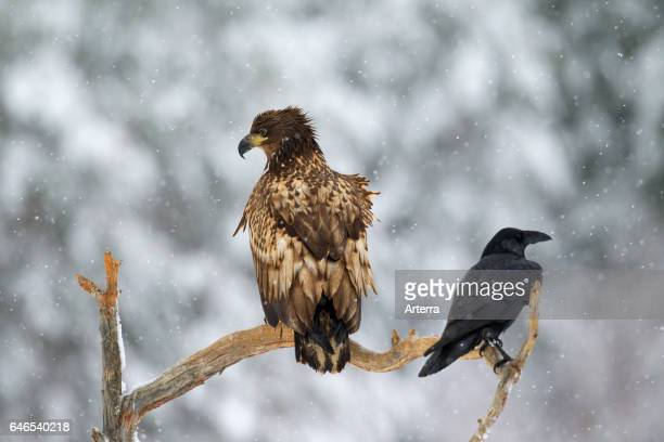 Whitetailed eagle / Sea eagle / Erne juvenile and common raven perched in tree during snowfall in winter