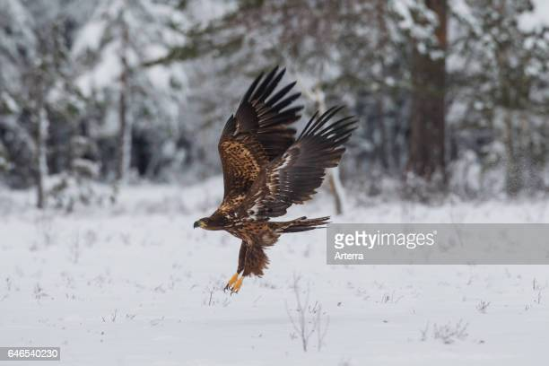 Whitetailed Eagle / Sea Eagle / Erne juvenile taking off in winter