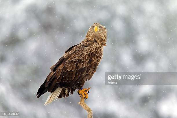 Whitetailed Eagle / Sea Eagle / Erne perched in tree in the snow in winter