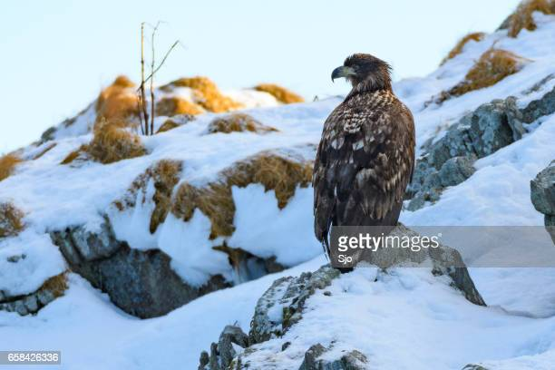 Pygargue à queue blanche assis sur un rocher neigeux en Norvège