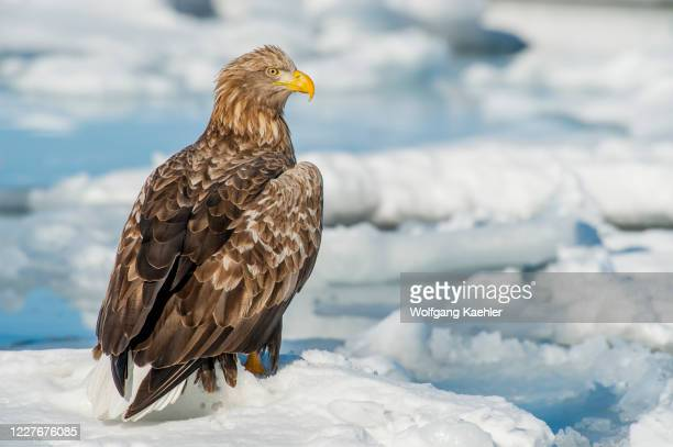 White-tailed eagle sitting on pack ice offshore the small town of Rausu, which is located on the east end of the Shiretoko Peninsula on Hokkaido...