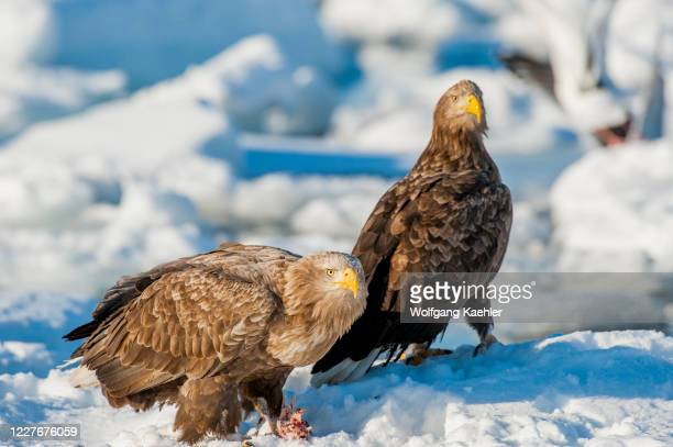 White-tailed eagles feeding on fish on pack ice offshore the small town of Rausu, which is located on the east end of the Shiretoko Peninsula on...